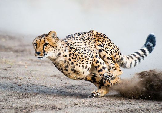 2 baa cheetah 535x375